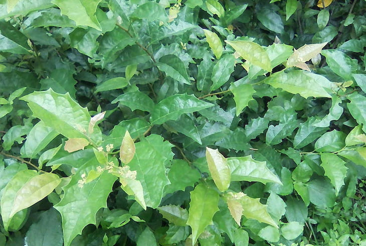 Xạ đen có thể dễ dàng tìm thấy tại những cánh rừng già ở Việt Nam
