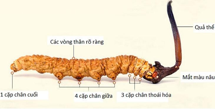 Đặc điểm hình dạng của một con đông trùng thật