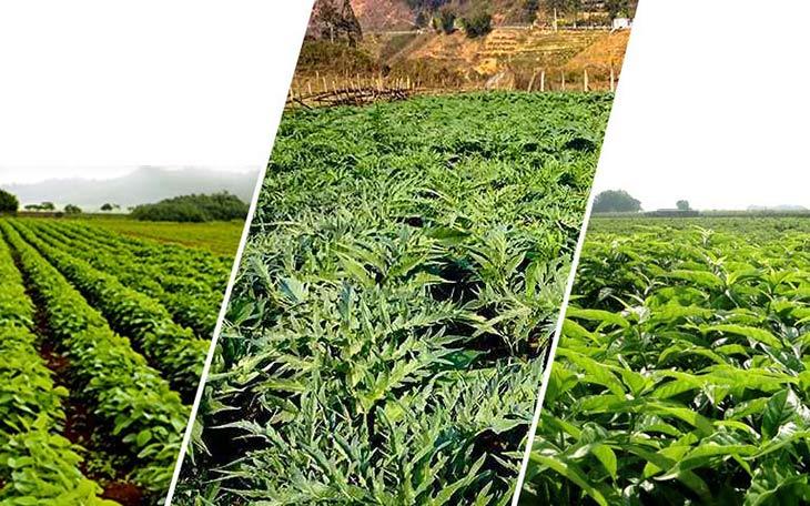 Phụ Khang Tán sử dụng thảo dược sạch, phát triển theo công nghệ cao